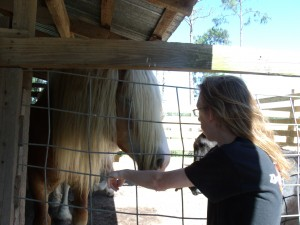 Lancelot comparing manes with Belgian -draft horse.